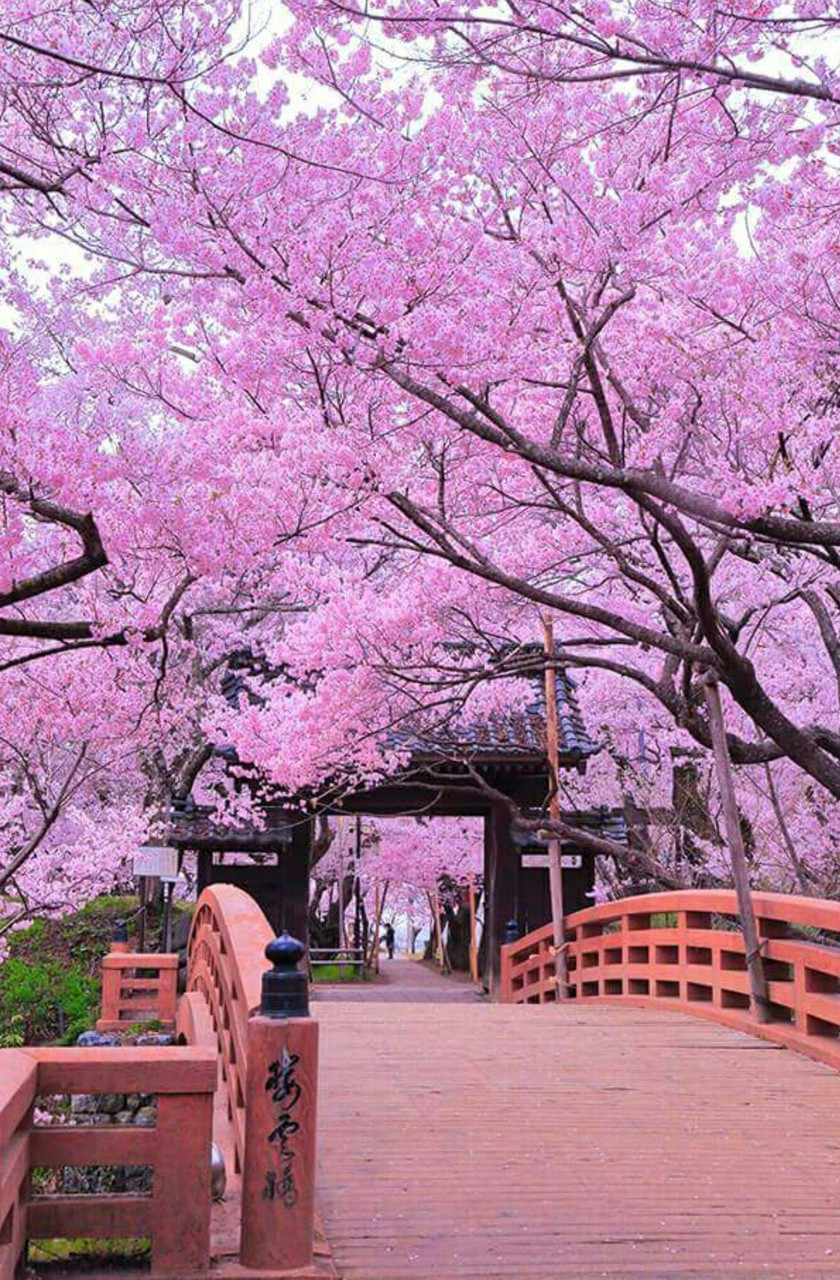 Cherry blossom - OGQ Backgrounds HD